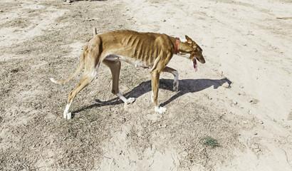 Slim abused dog
