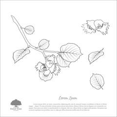 Contour drawing hazelnut branches . Nut and hazelnut leaf