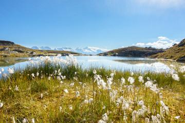 Fototapete - Wollgras am Bergsee in den tiroler Bergen