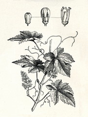 Common grape vine (Vitis vinifera) (from Meyers Lexikon, 1895, 7/338/339)