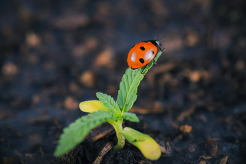 Lady bug on cannabis plant