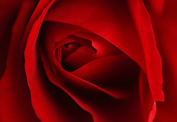 Close up of a red rose - Love