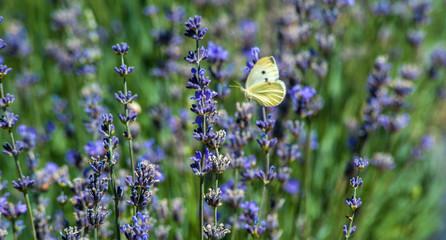 Butterfly in a lavender field