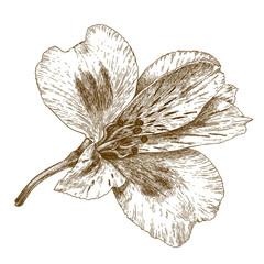 engraving illustration of alstroemeria flower