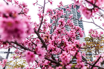 Low Angle View Of Pink Cherry Blossoms Growing On Tree