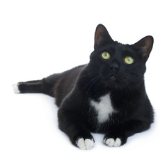 Lying black cat isolated over the white background