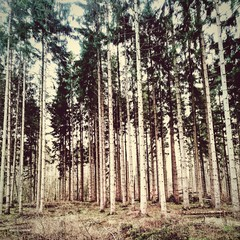 Pine trees growing in the forest
