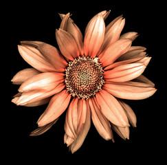Surreal dark chrome retro decorative sunflower Helinthus macro isolated on black