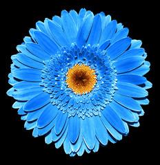 Foto op Canvas Madeliefjes Surreal dark chrome blue gerbera flower macro isolated on black