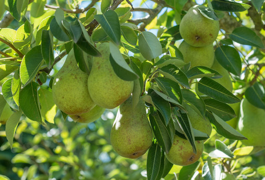 Bartlett pears on the tree
