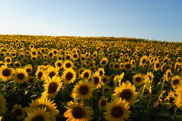 sunflower blooming in the field in summer