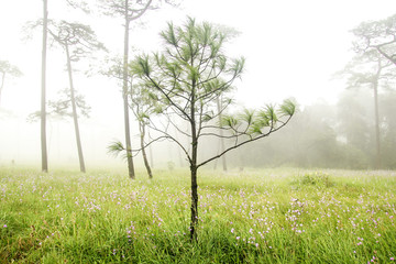 Pine tree stand with grass field in foggy forest landscape