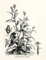Cultivated tobacco (Nicotiana tabacum) (from Meyers Lexikon, 1895, 7/338/339)