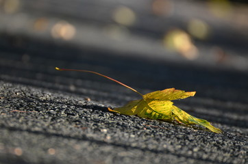 maple leaf on asphalt road