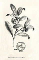 Tea plant (Camellia sinensis) (from Meyers Lexikon, 1895, 7/338/339)