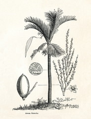 Areca palm (Areca catechu) (from Meyers Lexikon, 1895, 7/338/339)