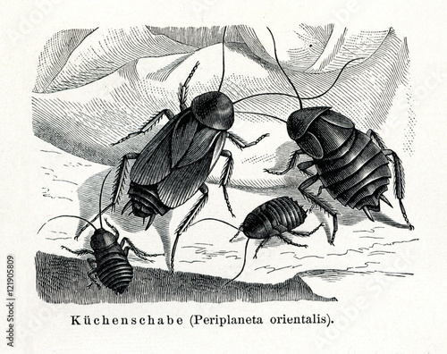 Oriental Cockroach Blatta Orientalis From Meyers Lexikon 1895 7