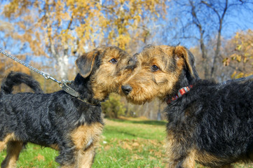 Airedale terrier Close-up in the park