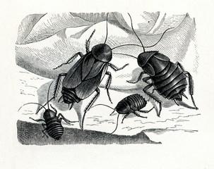 Oriental cockroach (Blatta orientalis) (from Meyers Lexikon, 1895, 7/374/375)