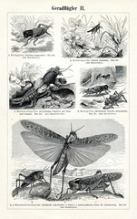 Orthoptera insects 2 (from Meyers Lexikon, 1895, 7/374/375)