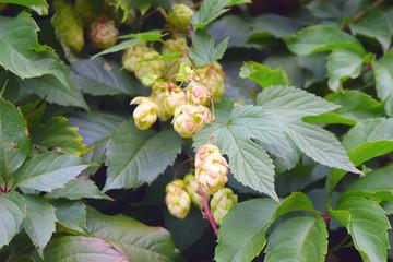 Knobs of hops closeup.