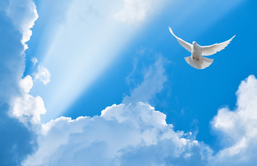 Foto En Lienzo - White dove flying in the sun rays among the clouds