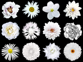 Mix collage of natural and surreal white flowers 12 in 1: peony, dahlia, primula, aster, daisy, rose, gerbera, clove, chrysanthemum, cornflower, flax, pelargonium isolated on black