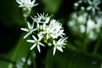 Wild garlic (Ramsus) flower