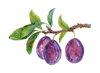 plums on a branch