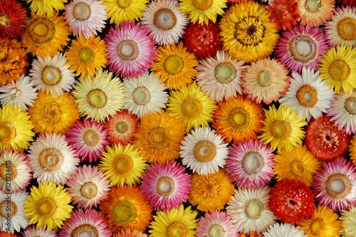 Strohblumen Trocknen buntes mosaik getrockneter strohblumen helichrysum bracteatum