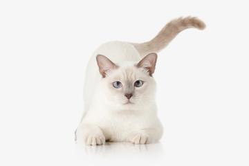 Kitten. Thai cat on white background