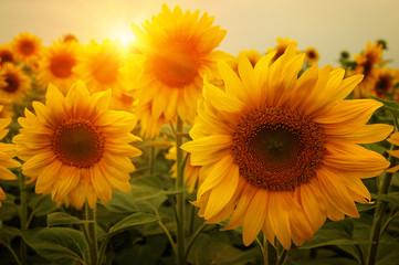 sunflowers and sun