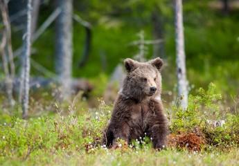 Cub of Brown bear (Ursus Arctos Arctos) in the summer forest. Natural green Background