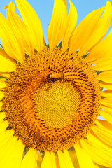 Bee on sunflower,close up and macro view.