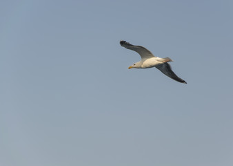 Seagull flying 2