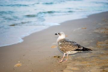 Heringsmöwe (Larus fuscus) im Jugendkleid, diesjähriger Jungvogel, Insel Usedom, Ostsee, Mecklenburg-Vorpommern, Deutschland