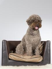 Lagotto Romagnolo dog portrait. Image taken in a studio.