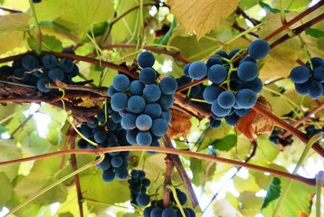 Purple Concord grapes hanging on the vine Fototapete