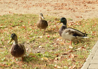 Утки гуляют в  городском парке. Селезень имеет яркий окрас перьев. Утка коричневого цвета