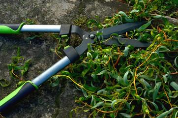 Fototapeta Garden shears -  branches pruning obraz