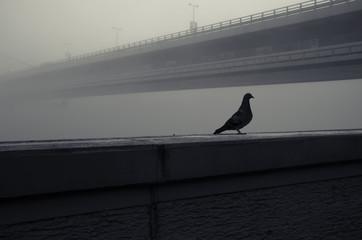 pigeon and bridge in fog