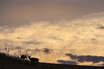 Two white tail deer spar and chase each other in the Saphire Mountains of Montana