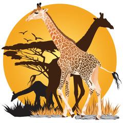 African Giraffes Sunset