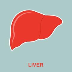 Human liver anatomy.