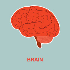 Human brain anatomy.