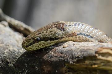 Smooth snake sitting on wood closeup