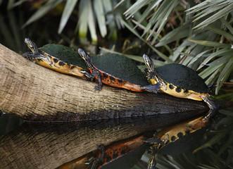 Yellow-bellied slider turtles (Trachemys scripta scripta) on log