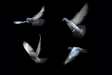 Flying pigeons on black background Wall mural