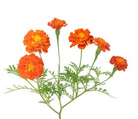 Africa marigold flower