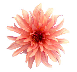 Wall Murals Dahlia orange dahlia